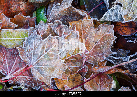 Mix of fallen sycamore leaves showing different colours of autumn and covered in frost crystals - Stock Photo