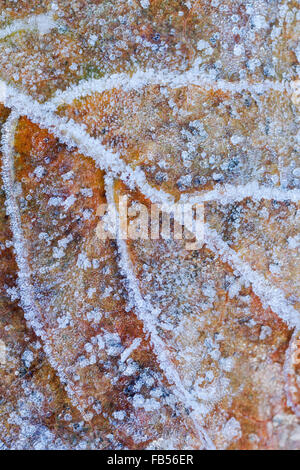 Sycamore leaf showing different colours of autumn and covered in frost crystals - Stock Photo
