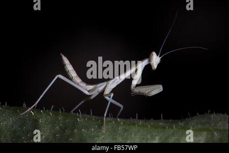 little mantis on a grass - Stock Photo