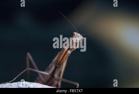 The large female of the mantis - Stock Photo