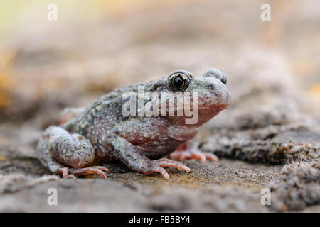 Close up of a Common midwife toad / Geburtshelferkroete ( Alytes obstetricans ) sits on rocks of an old quarry, - Stock Photo