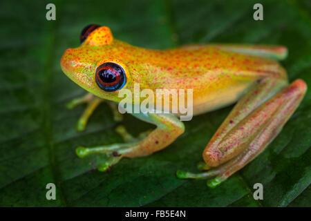 A tiny tree frog on a leaf, Andasibe National Park, Madagascar. - Stock Photo