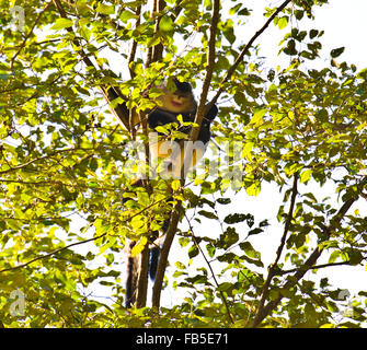 Yunnan Golden Monkeys in the trees with their young ,National Park,Tacheng,Yunnan Province,PRC,People's Republic - Stock Photo