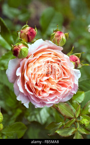 Abraham Darby Rose full blossom - Stock Photo