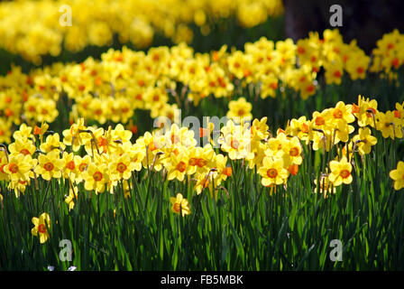 Narcissus field - Stock Photo