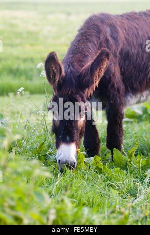 Donkey (Equus asinus) - Stock Photo