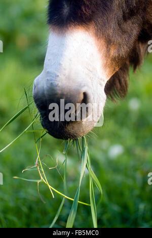 Donkeys head mouth grassing - Stock Photo