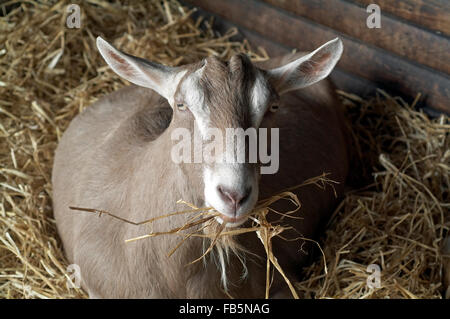 Goat in the shed with straw in mouth england UK europe - Stock Photo