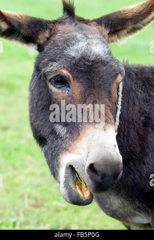 Donkey (Equus asinus) with open mouth - Stock Photo