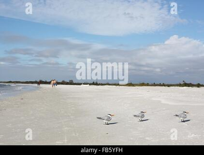 Royal terns on a beach in St. Petersburg, Florida. - Stock Photo