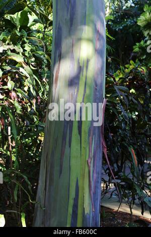 A rainbow eucalyptus tree at Sunken Gardens in St. Petersburg, Florida. - Stock Photo