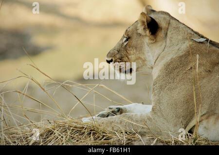 Closeup of a lioness (Panthera leo) lying inside South Luangwa National Park, Zambia - Stock Photo
