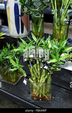 how to grow lucky bamboo from cuttings