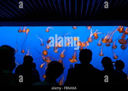 A crowd of people watch a tank of Sea nettle (Chrysaora fuscescens), Monterey Bay Aquarium, Monterey, California, - Stock Photo