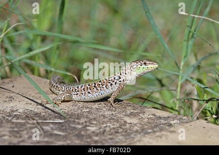 Italian wall lizard latin name podarcis sicula or muralis in summer in Italy close up - Stock Photo