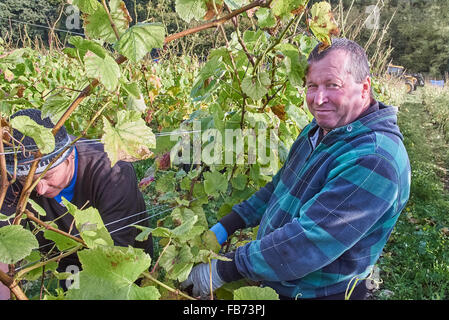 grape pickers in a vineyard - Stock Photo