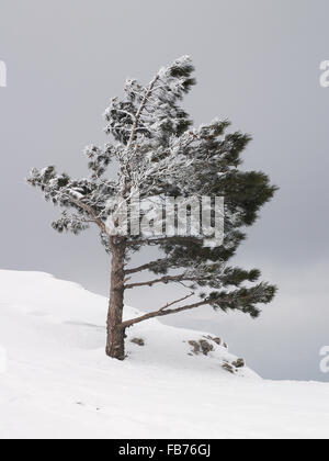 Young frozen pine tree on the edge of the snow-covered rock - Stock Photo