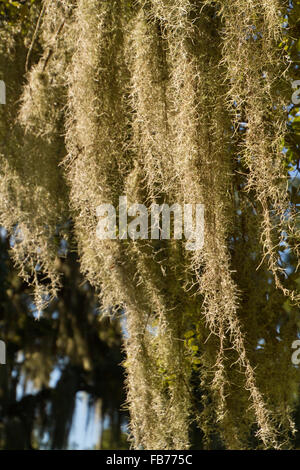 Close up of Spanish moss hanging from oak tree ...