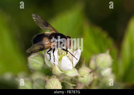 Pellucid Hoverfly, Waldschwebfliege, Wald-Schwebfliege, Hummel-Schwebfliege, Hummelschwebfliege, Volucella pellucens - Stock Photo