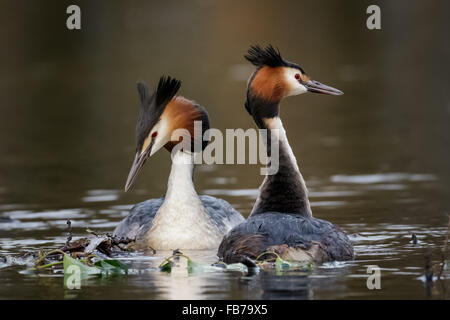 A pair of Great Crested Grebes (Podiceps cristatus) in a courtship display. - Stock Photo