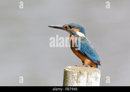 Kingfisher (Alcedo atthis) perched on a post. - Stock Photo