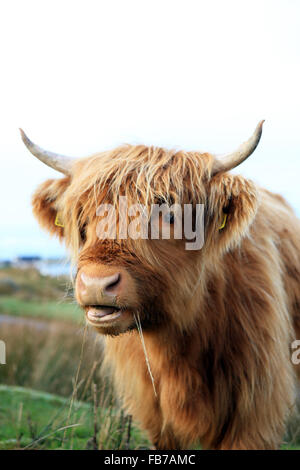Highland cow chewing blades of grass in Fionnphort on the Isle of Mull in the Inner Hebrides of Scotland - Stock Photo