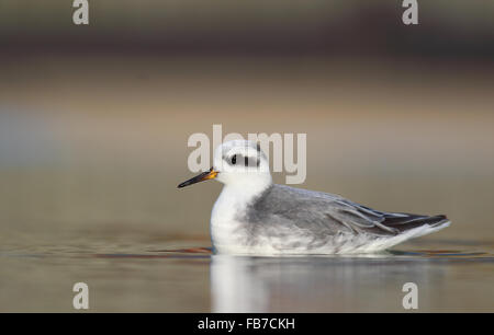 Grey Phalarope - Stock Photo