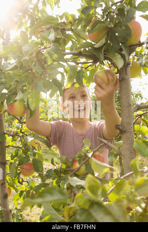Happy boy picking apple from tree - Stock Photo