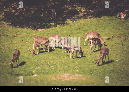 A summertime view of a herd of fallow deers (Dama dama) on the green meadow. These mammals belong to the family - Stock Photo