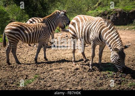 Zebra on grassland in Africa, National park of Kenya - Stock Photo