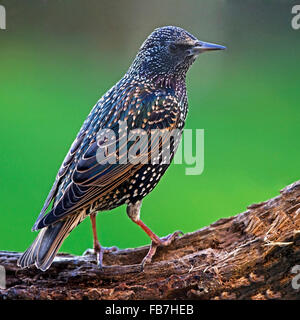 Common starling perched on branch - Stock Photo