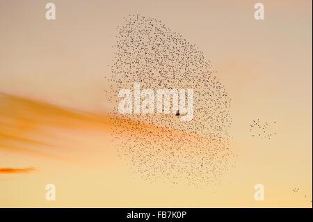 Starling flock (Sturnus vulgaris) at sunset, with Marsh Harrier (Circus aeruginosus) flying through the flock - Stock Photo