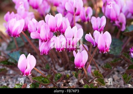 Cyclamen hederifolium var. confusum. - Stock Photo