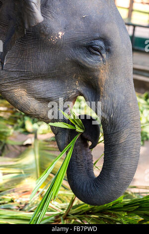 Asian elephants (Elephas maximus) feeding in the Pinnawela Elephants Orphanage, Pinnawela, Sri Lanka