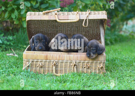 Dachshund (Canis lupus familiaris) puppies sitting in basket, Germany - Stock Photo