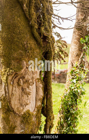 A face in a tree trunk, West Cork, Ireland. - Stock Photo