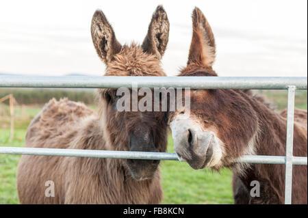 Two donkeys look through a gate in a field near Ballydehob, West Cork, Ireland. - Stock Photo