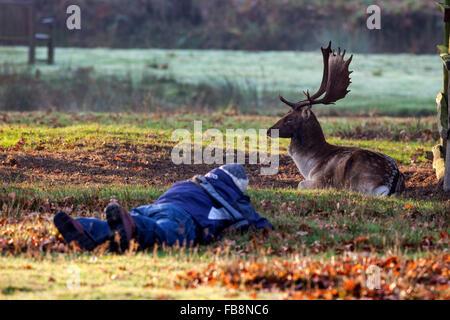 Photographer and Nonchalant Fallow Deer Stag (Dama dama) England UK - Stock Photo