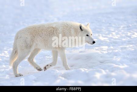 Beautiful wild white wolf in winter - Stock Photo