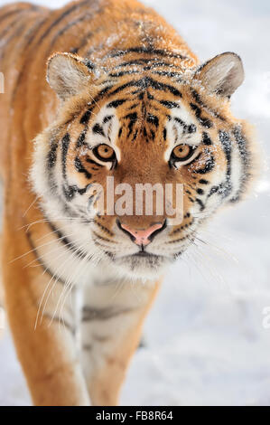 Beautiful wild siberian tiger on snow - Stock Photo