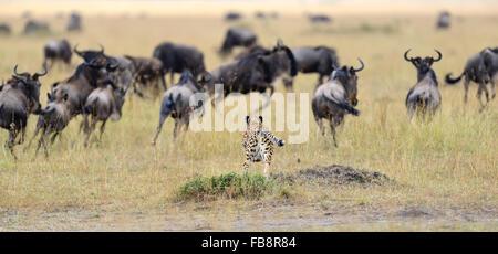 Cheetah (Acinonyx jubatus) pursuit a wildebeest, Masai Mara, Kenya - Stock Photo
