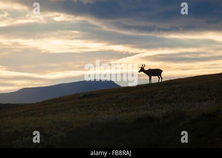 Sweden, Harjedalen, Helagsfjallet, Reindeer at dusk - Stock Photo