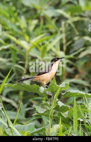 Black-capped Donacobius (Donacobius atricapilla), Pantanal, Mato Grosso, Brazil - Stock Photo