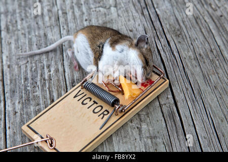 Long tailed field mouse caught in trap. - Stock Photo