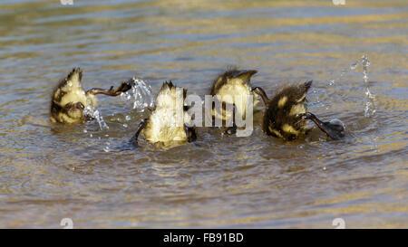 Mallard ducklings (Anas platyrhynchos) diving for vegetation to eat. - Stock Photo