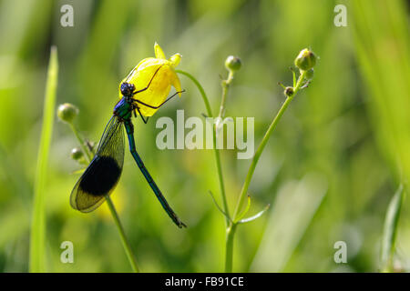 Male Banded Demoiselle (Calopteryx splendens)  clinging to a yellow flower. - Stock Photo