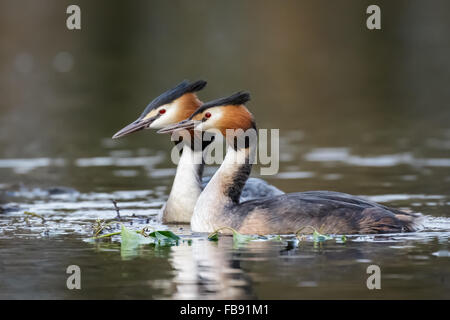 A pair of Great Crested Grebes (Podiceps cristatus) around the beginnings of a nest site. - Stock Photo