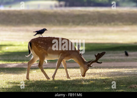 A Fallow deer (Dama dama) foraging in the park with a Jackdaw on its' back. - Stock Photo