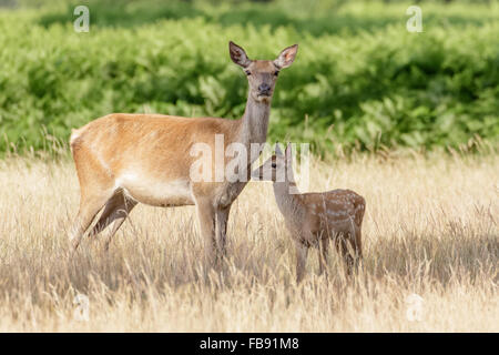 Red Deer (Cervus elaphus) hind mum mother and young baby calf in long grass. - Stock Photo