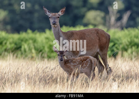 Red Deer female hind Mother (Cervus elaphus) guarding her young baby calf closely. - Stock Photo